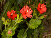California Indian Pink (Silene californica)
